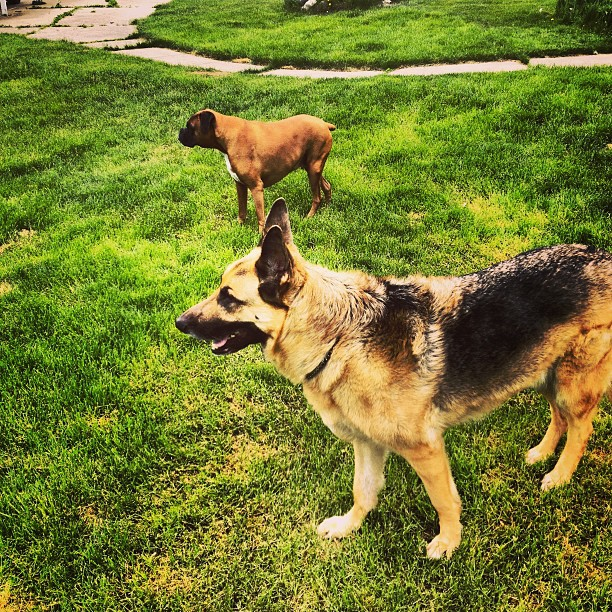Who_let_the_dogs_out__Ok._It_was_me__Hanging_out_with_my_parents__dogs_today.